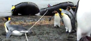 Illustration for article titled Seeing penguins get confused and trip over a rope is hilariously cute