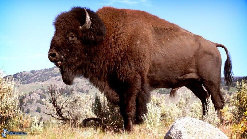 Illustration for article titled Buffalo image