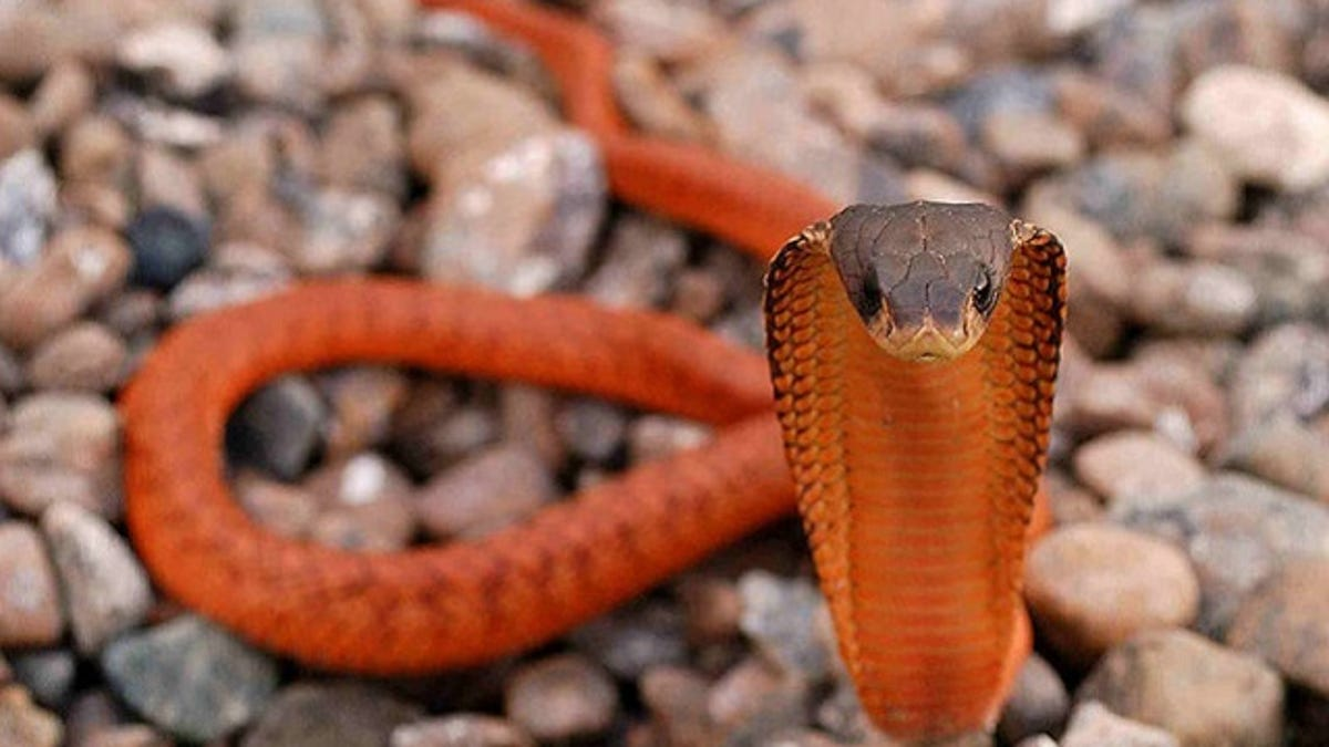 On Top of Everything Else, Snakes Can Spray Stink On You