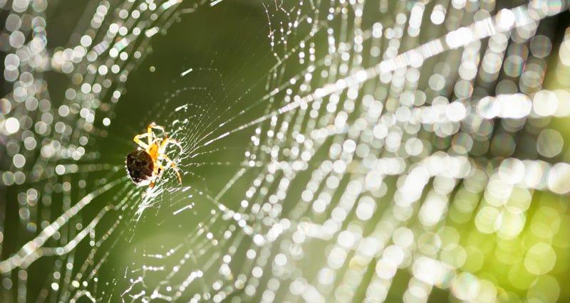 Illustration for article titled Consiguen crear seda super-resistente rociando arañas con grafeno