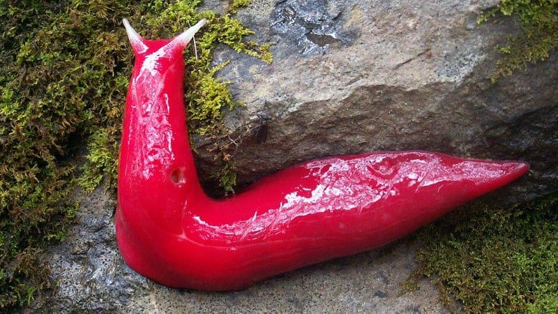 Illustration for article titled Holy crap it's a hot pink slug