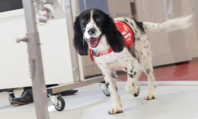 Dogs Can Sniff Out Malaria in Worn Socks