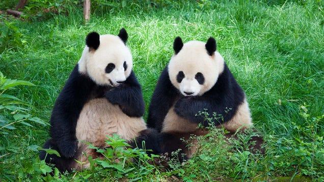Senate Passes $50 Billion Bill To Combat Chinese Influence By Developing Own Pandas