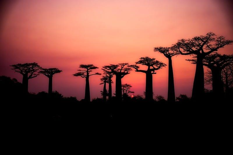 Illustration for article titled Los baobab, árboles milenarios de África, están muriendo (y nadie sabe muy bien por qué)