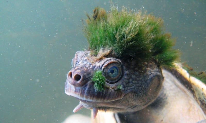 Illustration for article titled Esta rara especie de tortuga con pelo en la cabeza y que respira por el ano está en peligro de extinción