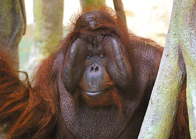 Illustration for article titled Zoo Orangutan Feels He Really Connected With Iowa Woman