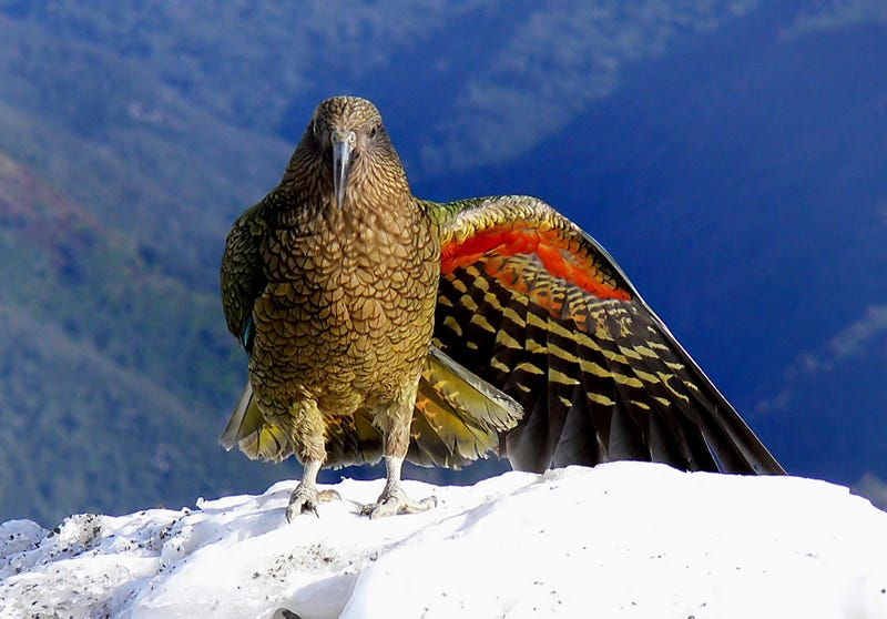 An adult Kea shows off a colourful underwing. Photo credit: Bernard Spragg / Public Domain
