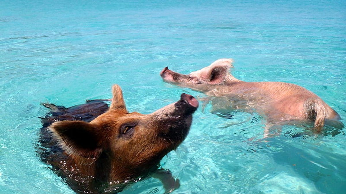 Resultado de imagen de cerdos bahamas