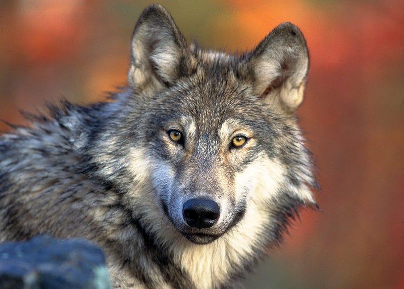 Un lobo gris: Foto: Wikipedia