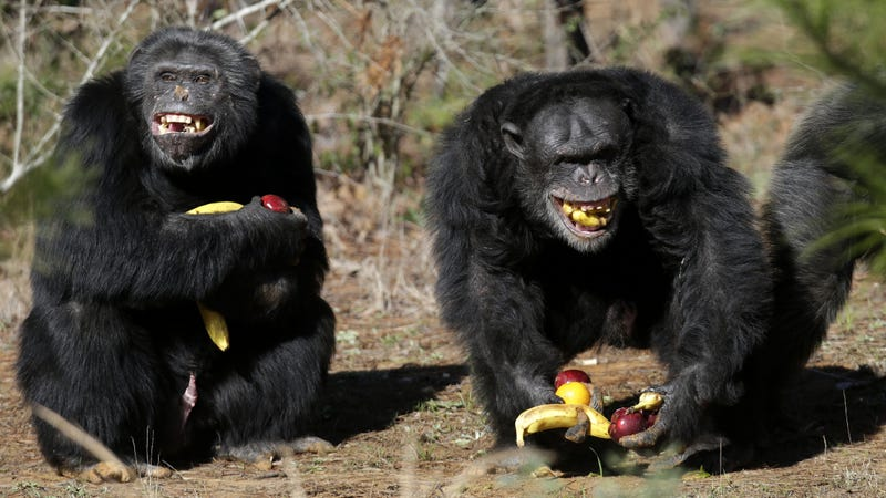Illustration for article titled Chimps Are Manipulative Dicks, New Research Confirms