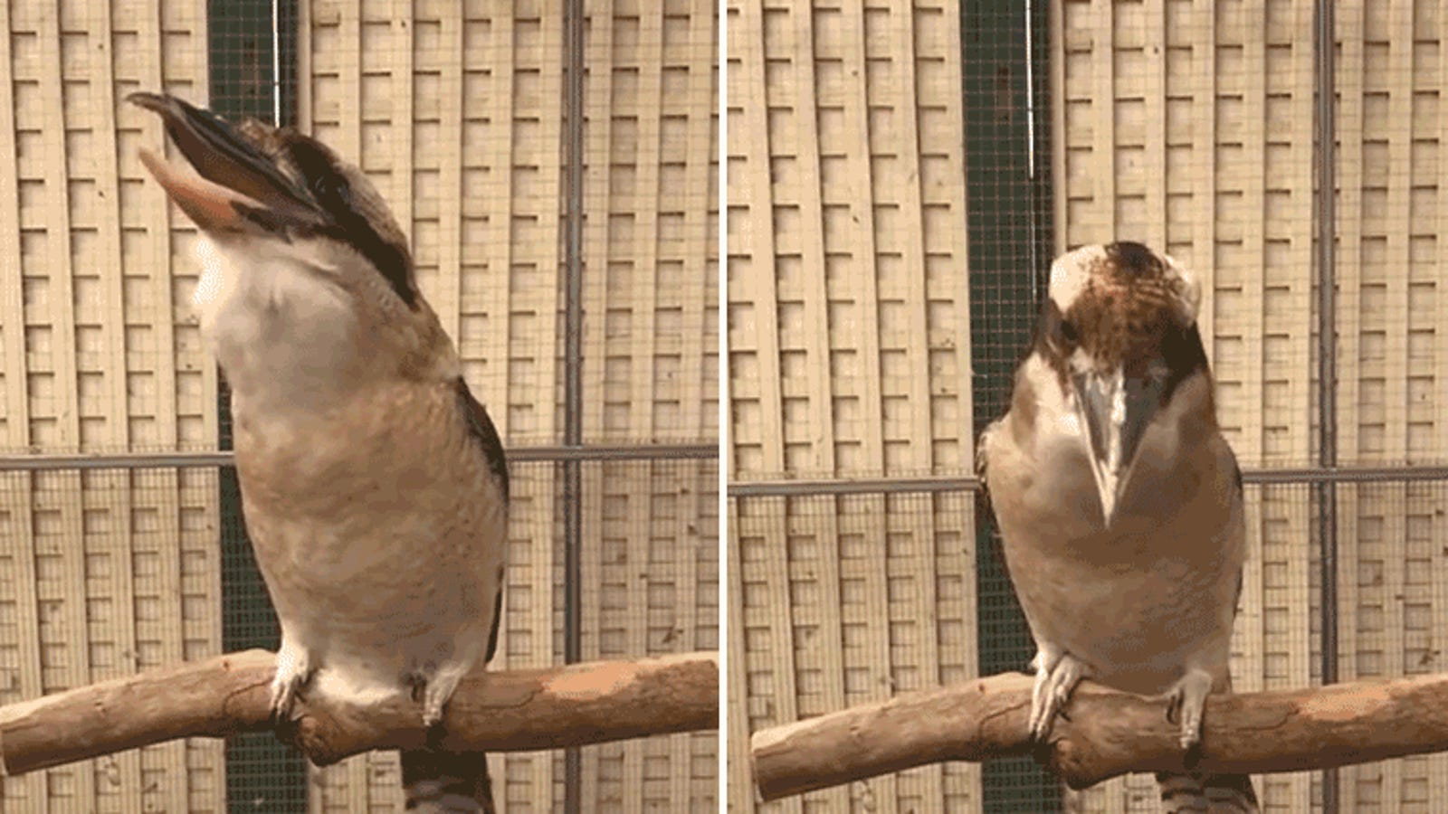 A Kookaburra Bird Laughing in Slow Motion Is Your New Nightmare Fuel