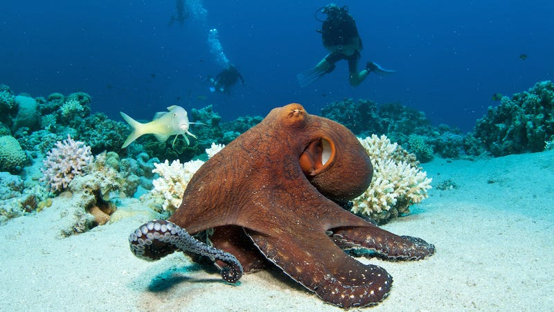 Illustration for article titled Threat Of Cannibalism Means No Valentine's Day Booty for Octopuses