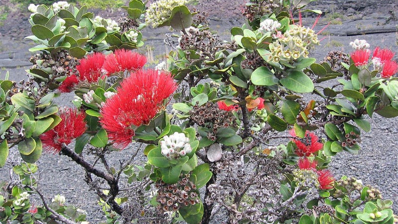 ʻōhiʻa tree in bloom in Hawaii Volcanoes National Park