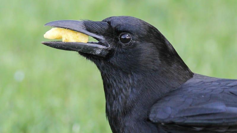 An American crow