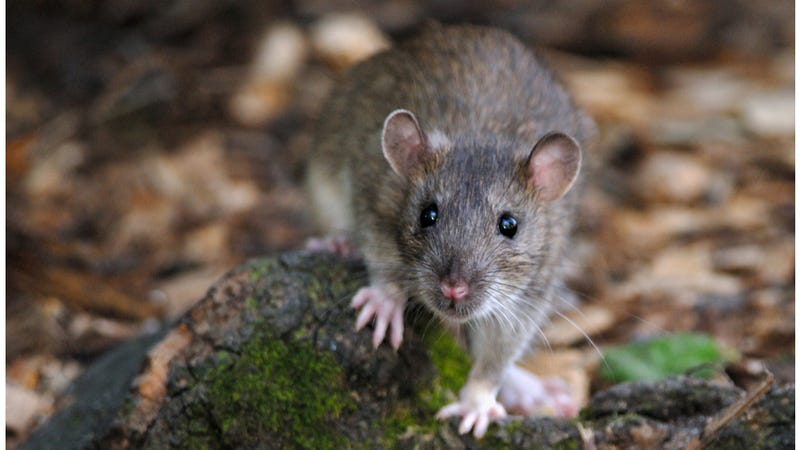 Illustration for article titled Rat Infestation Causes Grounding Of Air India Flight