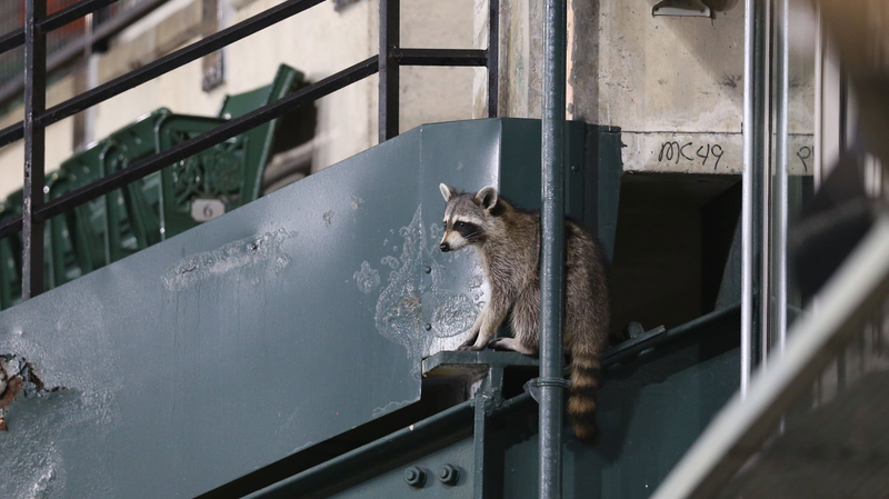 Illustration for article titled Was This Raccoon Witch Cursing The Baltimore Orioles? An Investigation