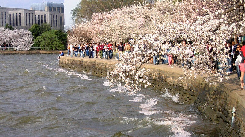 Cherry Blossoms in DC (Image: Andrew Bossi)