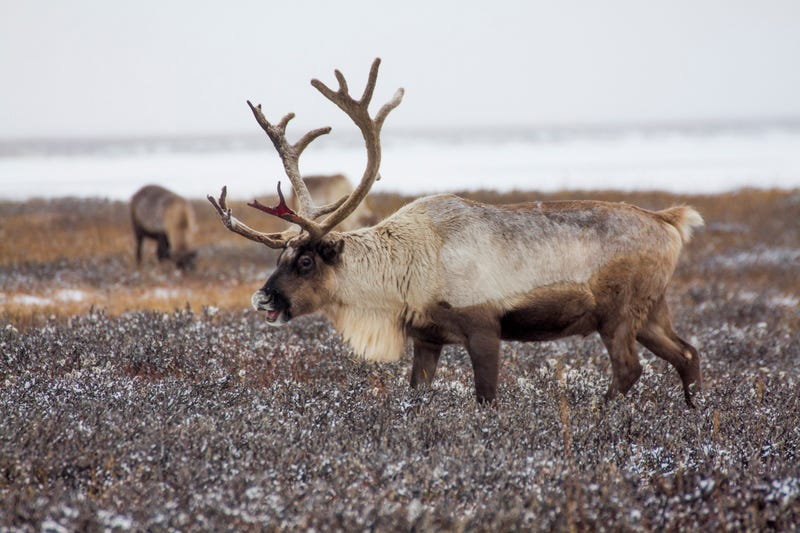 This reindeer is actually Russian. Photo: AP