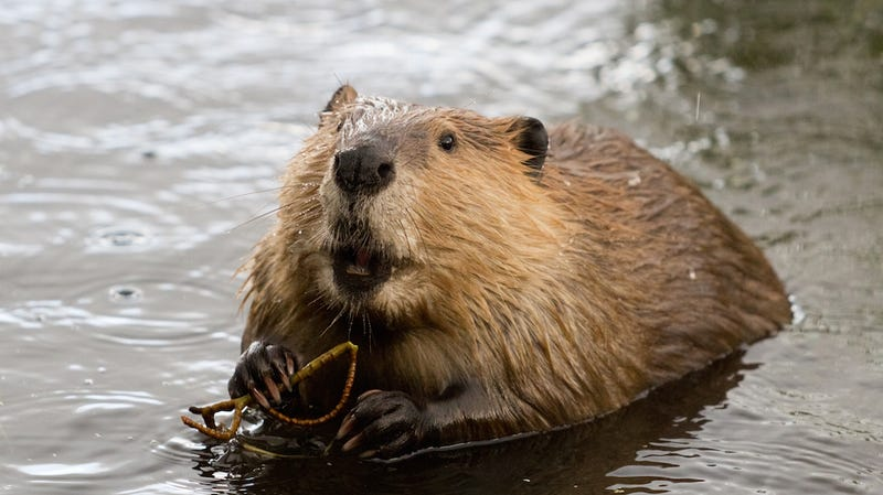 The Plan to Make California Wet By Spreading Beavers Up and Down the State