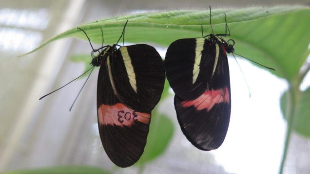 These Butterflies Use Their Putrid Genitalia to Keep Rivals Away From Mates