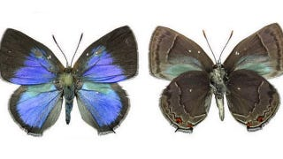 Illustration for article titled These Butterflies Put Only A Minimal Effort Into Avoiding Interspecies Mating