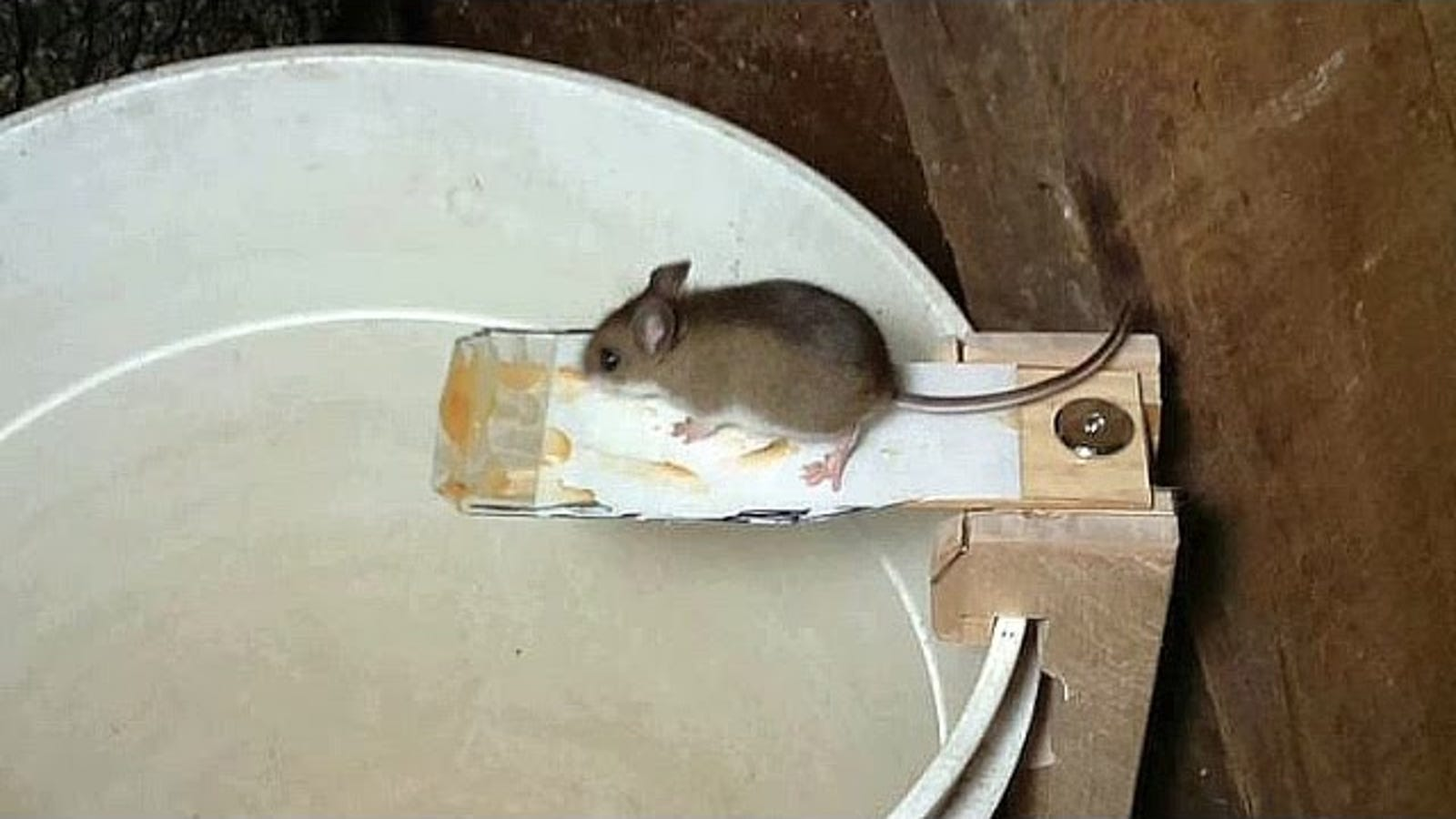 Ruthlessly Efficient Trap Proves Mice Are Dumb