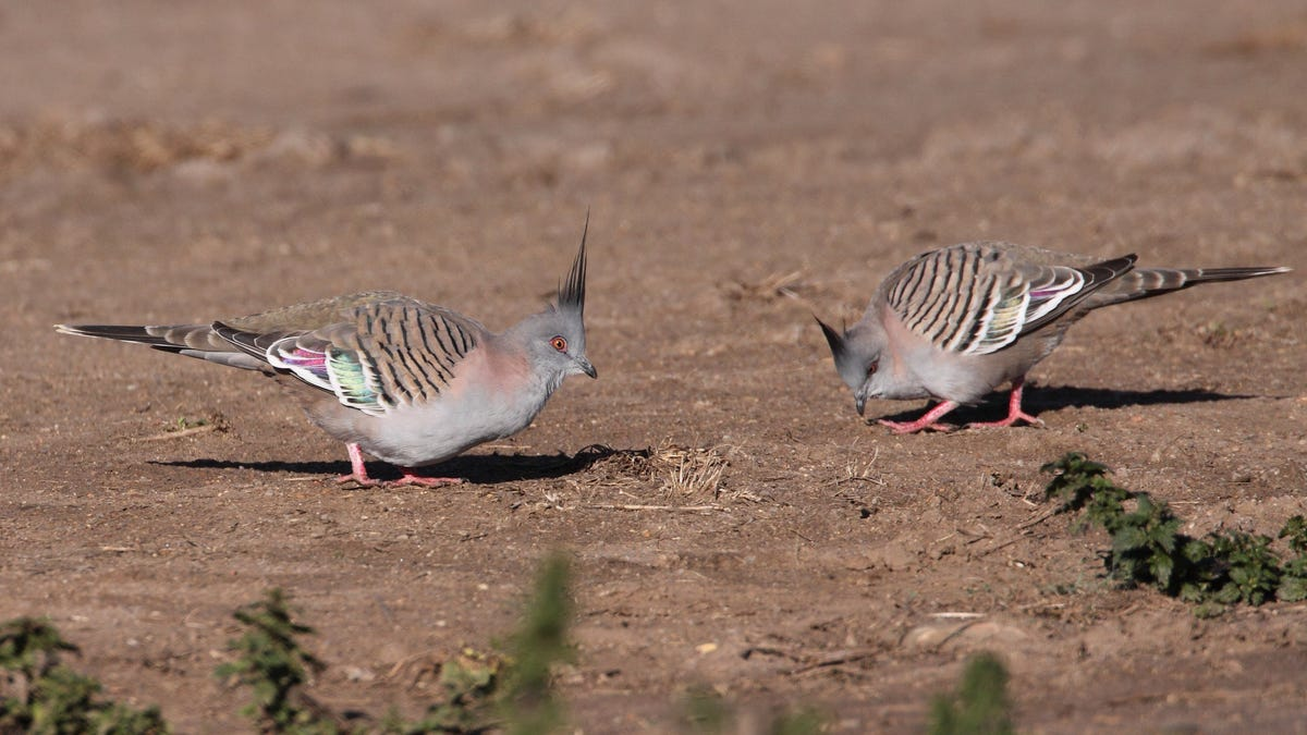 Crested Pigeons Sound the Alarm With Whistling Wings