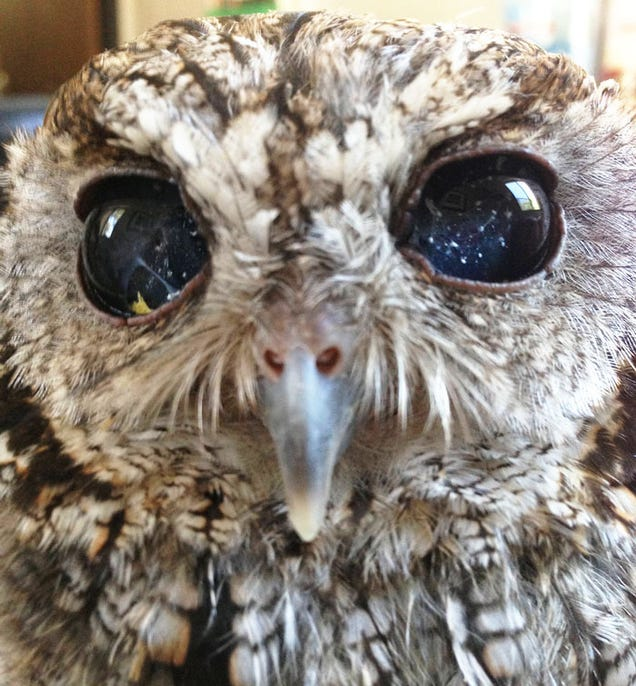 This Blind Screech Owl Has Eyes That Are Impossible To Believe