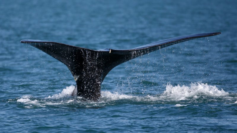 Illustration for article titled Scientists Call For Action to Prevent Right Whales' Extinction