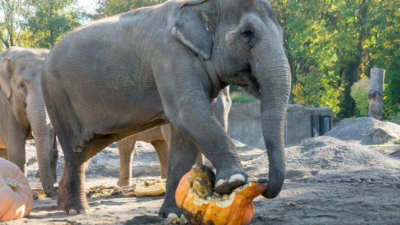 Participating elephant smashing some squash.