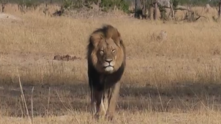 Dipshit Midwestern Dentist Identified As Cecil The Lion's Killer