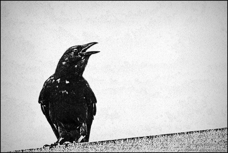 Illustration for article titled How did crows develop a social safety net?