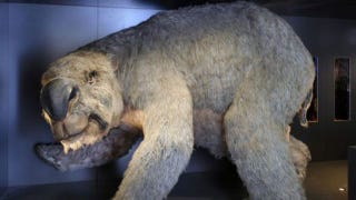 Illustration for article titled This ancient giant wombat was as big as an SUV
