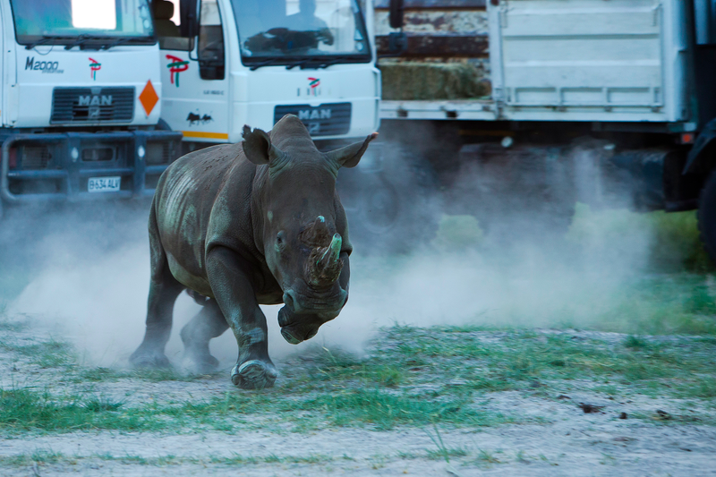 Illustration for article titled Largest-Ever Rhino Airlift Recently Released First 10 Rhinos In Botswana