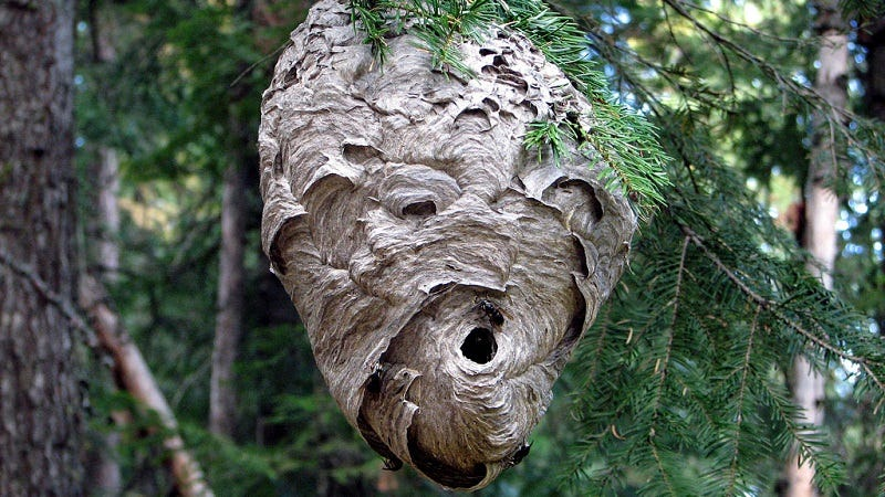 What are the signs to look for when searching for ground-based hornets' nests?