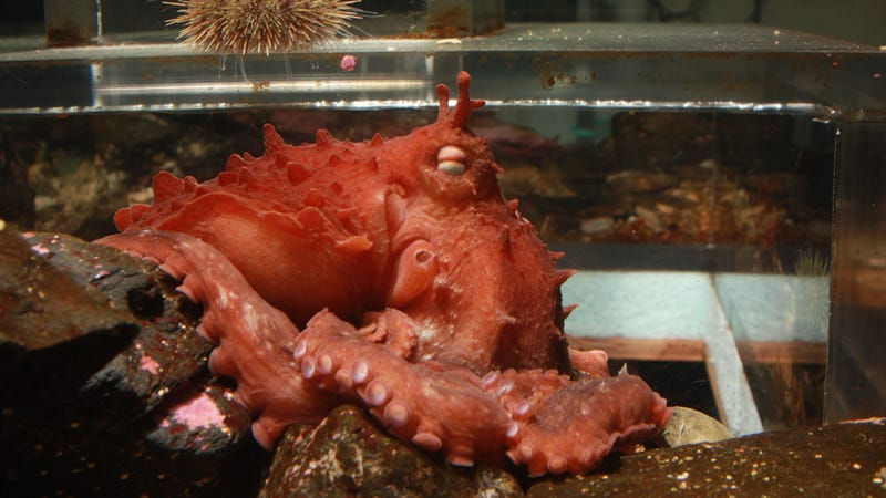 The frilled giant Pacific octopus. Photo Courtesy D. Scheel