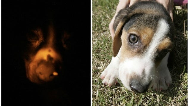 Mad Dog Darkness a Glow in The Dark Dog