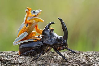 Illustration for article titled Can this picture of a frog riding a beetle be real or is it fake?