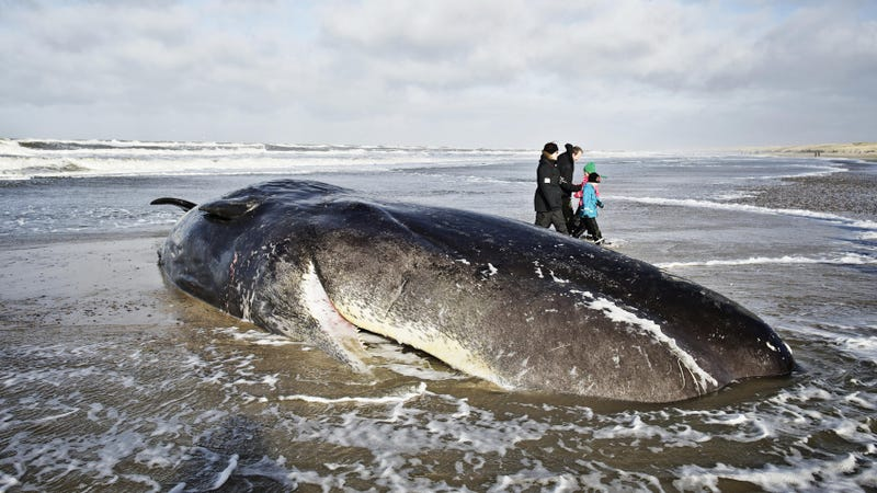 A beached whale in Denmark from 2014 (Image: AP)