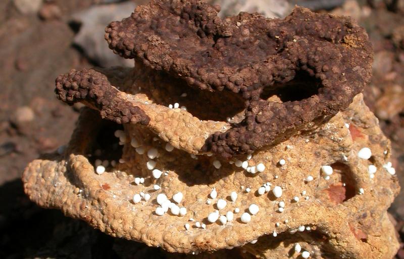 A termite fungus garden. Courtesy James Cook University