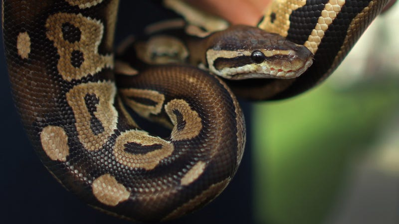 Illustration for article titled 'Don't Panic': Snakehunt Continues After Three-Foot Python Escapes Inside High School