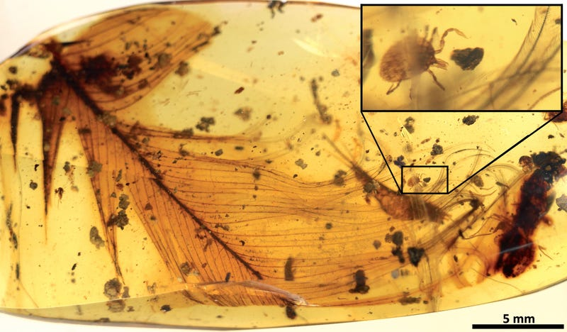 A tick grasping a dinosaur feather inside 99 million-year-old Burmese amber. (Image: Peñalver et al., 2017)