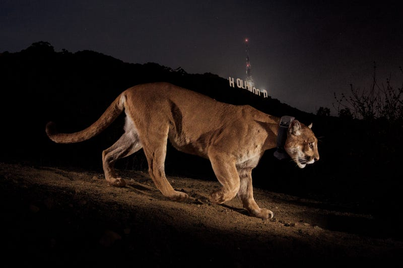 Illustration for article titled How P-22 Became Hollywood's Most Famous Mountain Lion