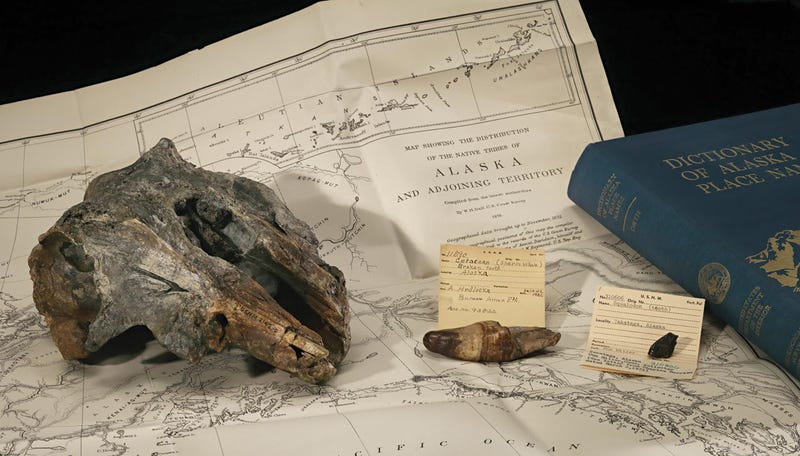 Fossil skull of Arktocara yakataga, an ancestor of the South Asian river dolphin recently discovered in the Smithsonian Museum of Natural History collection. Image: James Di Loreto, Smithsonian