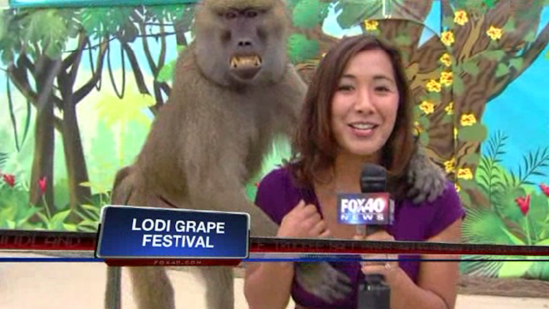 Illustration for article titled Here's a Baboon Grabbing a Reporter's Boob Live On the Air