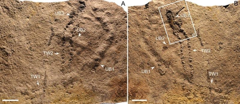 Illustration for article titled Estas son las huellas más antiguas jamás descubiertas en la Tierra: una criatura que vivió hace 540 millones de años