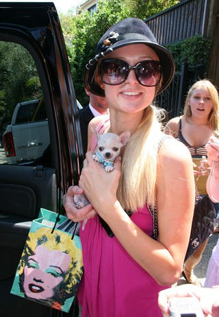 Illustration for article titled Paris Hilton's New Puppy Not Sure What He's Gotten Himself Into