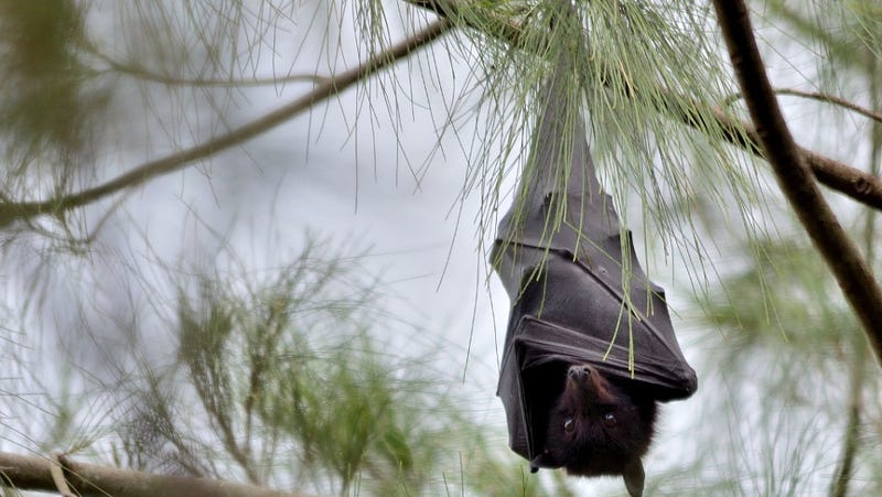 Illustration for article titled Why Bats Can Carry Ebola Without Dying From It