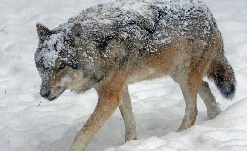 Illustration for article titled Graban el intento desesperado de una manada de lobos hambrientos por cazar a un grupo de ciervos