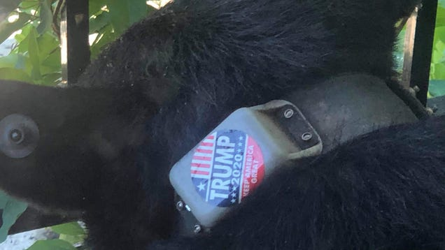Bear Cursed With Trump Sticker Perfectly Encapsulates 2020